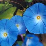 Seeds Ipomoea tricolor 'Blue Star' (Morning Glory)-Seeds Ipomoea tricolor  ('Blue Star' Morning Glory)