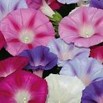 Seeds Ipomoea purpurea (Tall Mix)-Seeds Ipomoea purpurea (Tall Mix)