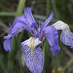 Seeds Iris missouriensis (6034-23)-Seeds Iris missouriensis (Rocky Mountain Iris)