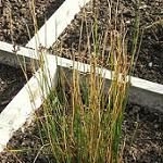Seeds Juncus balticus (Baltic Rush)-Seeds Juncus balticus (Baltic Rush)