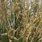 Seeds Juncus confusus (Colorado Rush)-Seeds Juncus confusus (Colorado Rush)