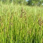 Seeds Juncus gerardii (Mud Rush)-Seeds Juncus gerardii (Mud Rush)