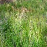 Seeds Juncus longistylis (Meadow Rush)-Seeds Juncus longistylis (Meadow Rush)