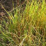Seeds Juncus tenuis (Path Rush)-Seeds Juncus tenuis (Path Rush)