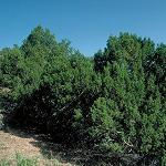 Seeds Juniperus monosperma-Seeds Juniperus monosperma