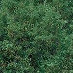 Seeds Juniperus scopulorum (Rocky Mt. Juniper)-Seeds Juniperus scopulorum, Rocky Mt. Juniper