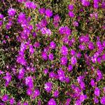 Seeds Lampranthus roseus-Seeds Lampranthus roseus