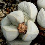 Seeds Lapidaria margaretae-Seeds Lapidaria margaretae