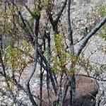 Seeds Larrea tridentata (Creosote bush)-Seeds LARREA Tridentata, Creosote bush