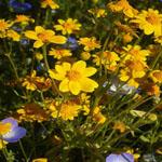 Seeds Lasthenia glabrata-Seeds Wildflowers Lasthenia glabrata (Goldfields)