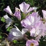 Seeds Linanthus grandiflorus-Seeds Wildflowers Linanthus grandiflorus (Mountain Phlox)