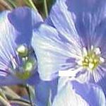 Seeds Linum lewisii (Lewis Flax)-Linum lewisii seeds (Blue flax)