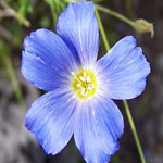 Seeds Linum perenne (Blue Flax)-Seeds Wildflowers Linum perenne, Blue Flax