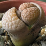 Seeds Lithops hookeri-Seeds Lithops hookeri
