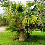 Seeds Livistona chinensis (Chinese fan palm)-Seeds Livistona chinensis, Chinese fan palm