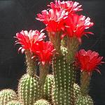 Lobivia grandiflora v grandis-Lobivia grandiflora v grandis