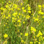 Seeds Lotus corniculatus-Seeds Wildflowers Lotus corniculatus (Bird's Foot Trefoil)