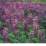 Seeds Lupinus alpestris (6055-33)-Seeds Lupinus alpestris (Mountain Lupine)