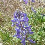 Seeds Lupinus argenteus (Mountain Lupine)-Seeds Lupinus argenteus (Mountain Lupine)