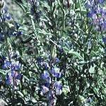 Seeds Lupinus sparsiflorus-Seeds Wildflowers Lupinus sparsiflorus (Desert lupine)