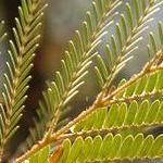 Seeds Lysiloma thornberi (Feather tree)-LYSILOMA Thornberi seeds, Feather Tree
