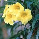 Seeds Macfadyena Unguis-cati (Catclaw vine)-Macfadyena Unguis-cati seeds, Catclaw vine