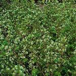 Seeds Majorana hortensis-Seeds Herbs Majorana hortensis