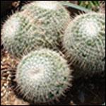 Mammillaria species