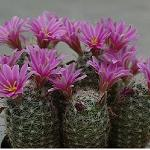 Mammillaria boolii-Mammillaria boolii