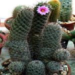 Mammillaria alamensis-Seeds Cacti Mammillaria alamensis