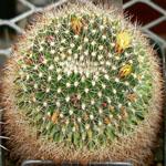 Mammillaria baxteriana-Seeds Cacti Mammillaria baxteriana