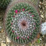 Mammillaria carnea-Seeds Cacti Mammillaria carnea