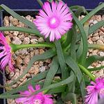 Seeds Marlothistella uniondalensis-Seeds Marlothistella uniondalensis