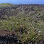 Seeds Melinis repens (Rubygrass)-SEEDS, Ornamental Grasses Melinis repens (Rubygrass)