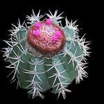 Melocactus concinnus-Seeds Cacti Melocactus concinnus