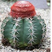 Melocactus neryi-Seeds Cacti Melocactus neryi