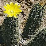 Mila caespitosa-Seeds Cacti Mila caespitosa