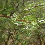 Seeds Mimosa biuncifera (Wait a minute)-Mimosa biuncifera (Wait a minute)