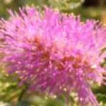 Seeds Mimosa dysocarpa (Velvet pod)-Seeds Mimosa dysocarpa, Velvet pod, Velvet Pod Mimosa, Gatuno, Velvetpod Catclaw