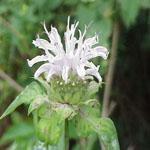 Seeds Monarda fistulosa (Bergamot)-Seeds Wildflowers Monarda fistulosa (Bergamot)