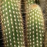 Morawetzia sericata-Seeds Cacti Morawetzia sericata