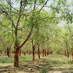 Seeds Moringa oleifera-Moringa oleifera