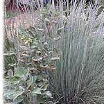 Seeds Muhlenbergia lindheimeri (Blue muhlygrass)-Seeds Muhlenbergia lindheimeri (Blue muhlygrass)