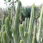 Myrtillocactus cochal-Seeds Cacti Myrtillocactus cochal