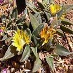 Seeds Nananthus transvaalensis-Nananthus transvaalensis