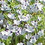 Seeds Nemophila maculata (Five Spot)-Seeds Wildflowers Nemophila maculata (Five spot)