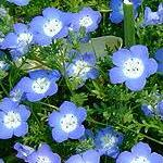 Seeds Nemophila menziesii (Baby blue eyes)-Seeds Wildflowers Nemophila menziesii (Baby blue eyes