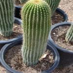 Neobuxbaumia polylopha-Seeds Cacti Neobuxbaumia polylopha