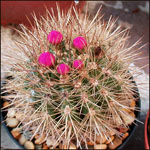 Neoporteria species mix-Seeds Cacti Neoporteria species mix