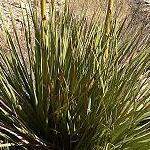 Seeds Nolina bigelovii-Nolina Bigelovii, Beargrass